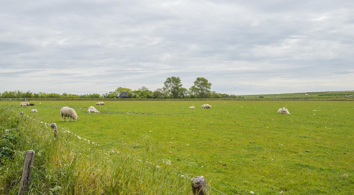 schapen in de wei